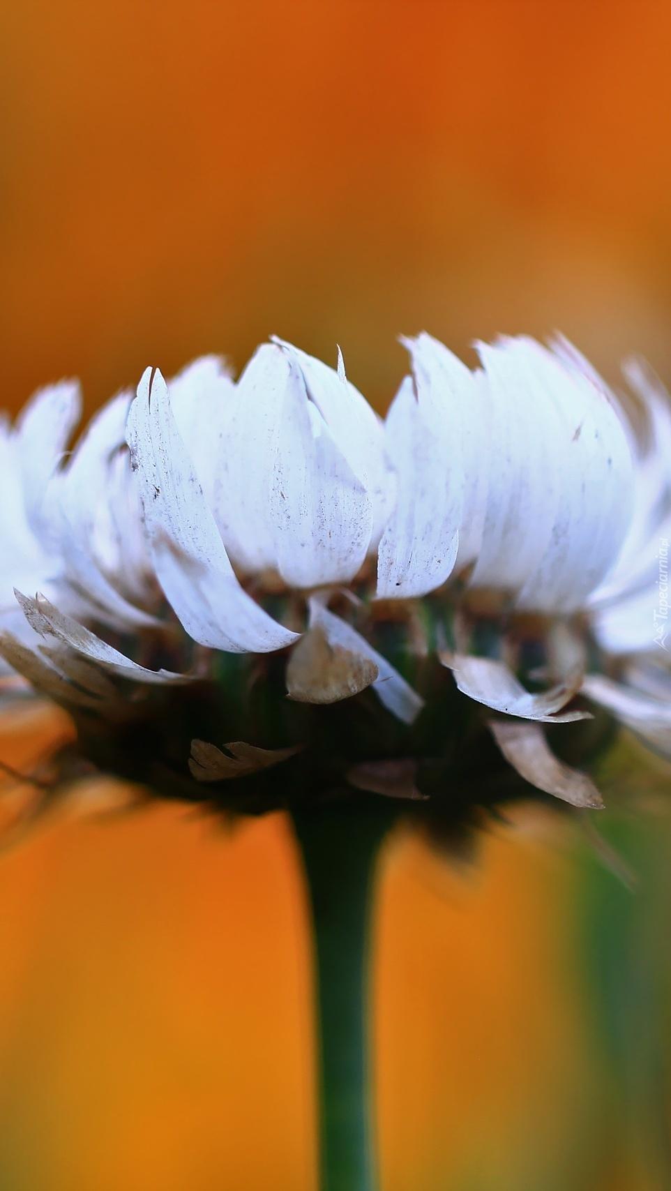 Kwiat kocanki ogrodowej