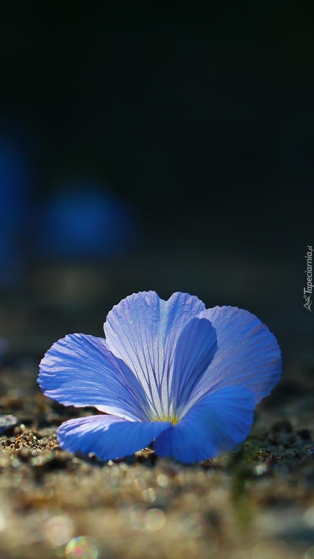 kwiat lnu włochatego