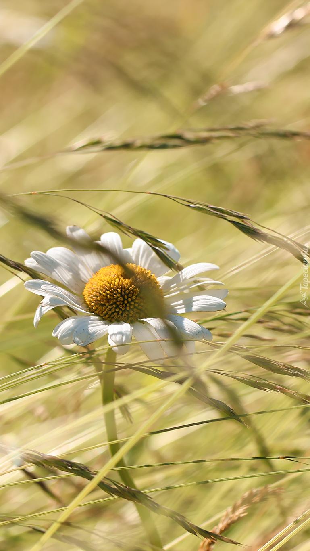 Kwiat margerytki zaplątał się w źdźbła trawy