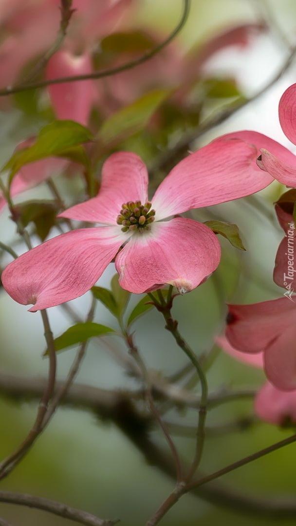 Kwiat różowego derenia