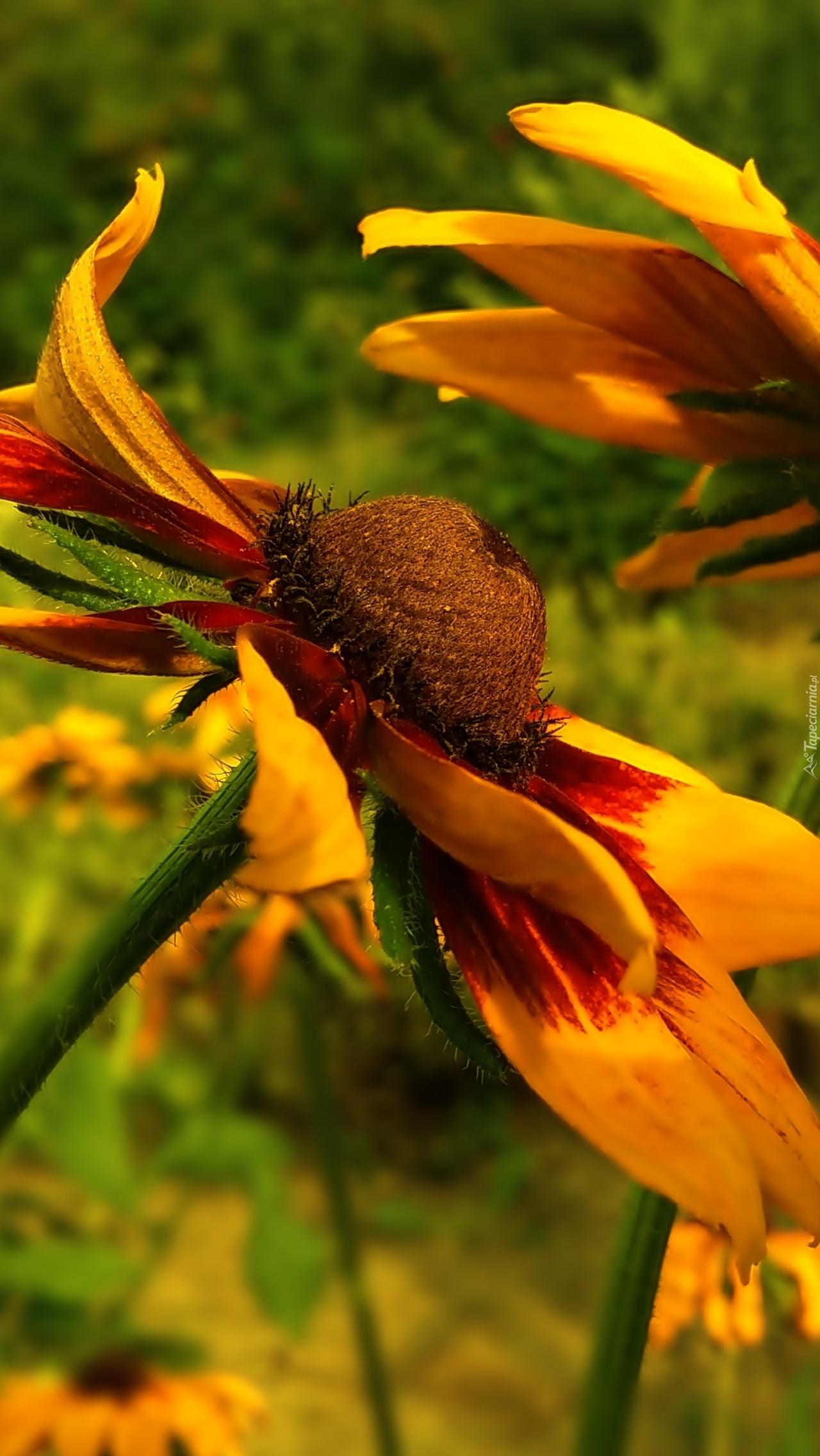 Kwiat rudbekii w zbliżeniu