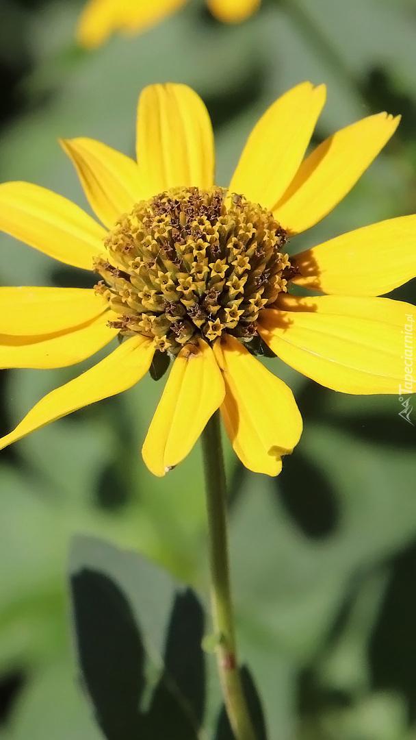 Kwiat słoneczniczka szorstkiego