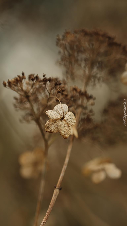 Kwiat suchej hortensji