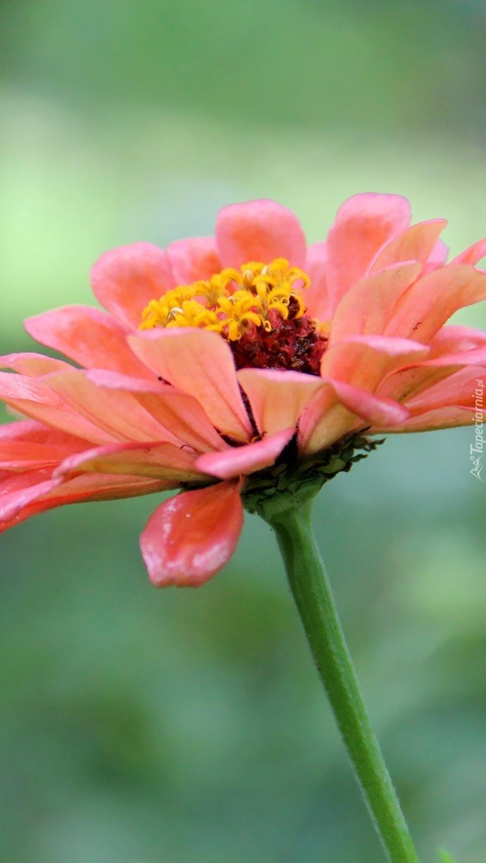 Kwiat z żółtymi pręcikami