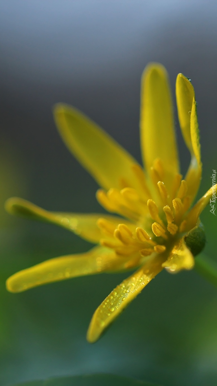 Kwiat ziarnopłonu wiosennego