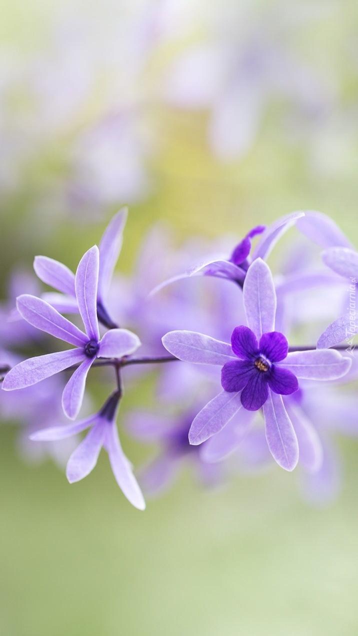 Kwiatki storczyka epidendrum