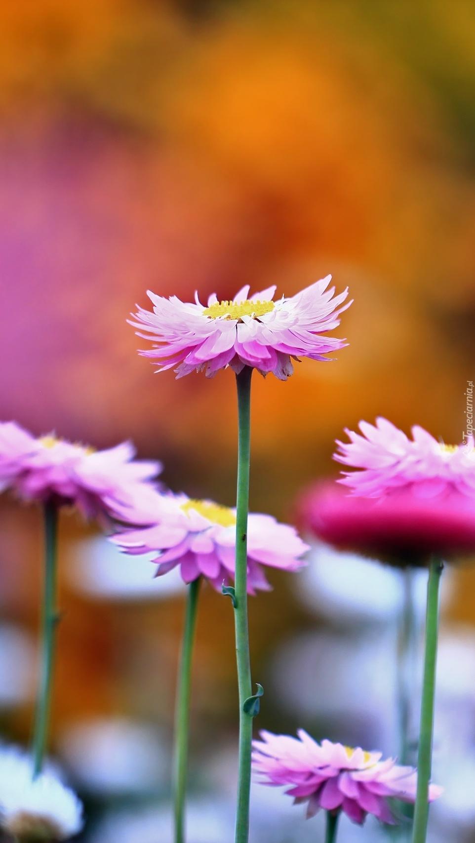 Kwiatki z babcinego ogrodu