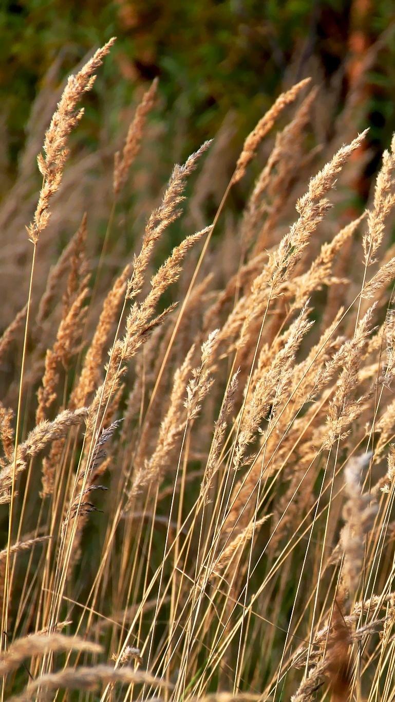 Kwiatostany trawy