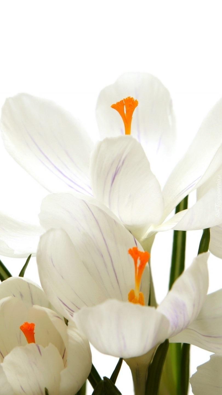 Kwiaty białych krokusów w zbliżeniu
