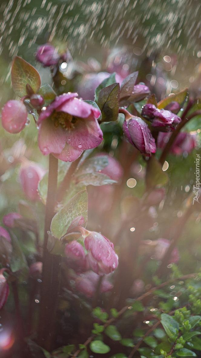 Kwiaty ciemiernika w deszczu