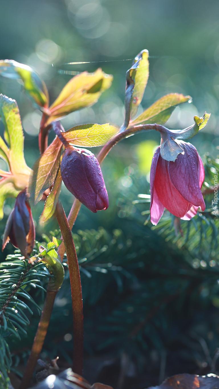 Kwiaty ciemiernika