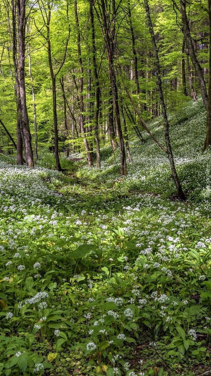 Kwiaty czosnku niedźwiedziego w lesie