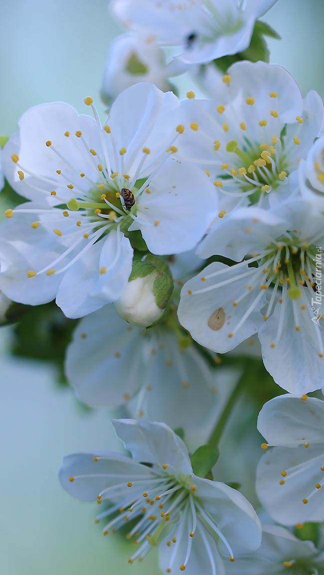 Kwiaty drzewa owocowego