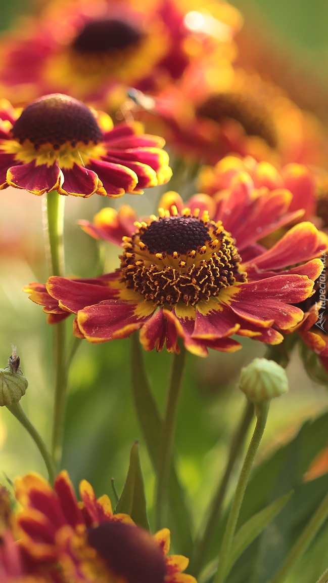 Kwiaty dzielżany