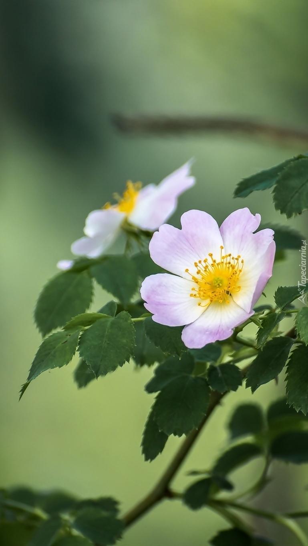 Kwiaty dzikiej róży