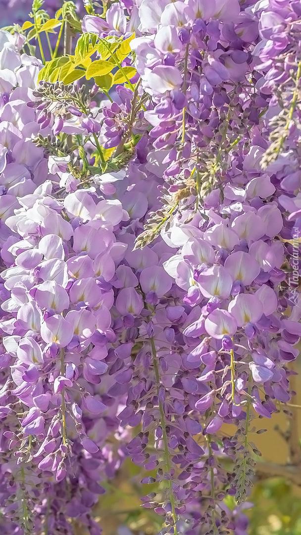 Kwiaty glicynii