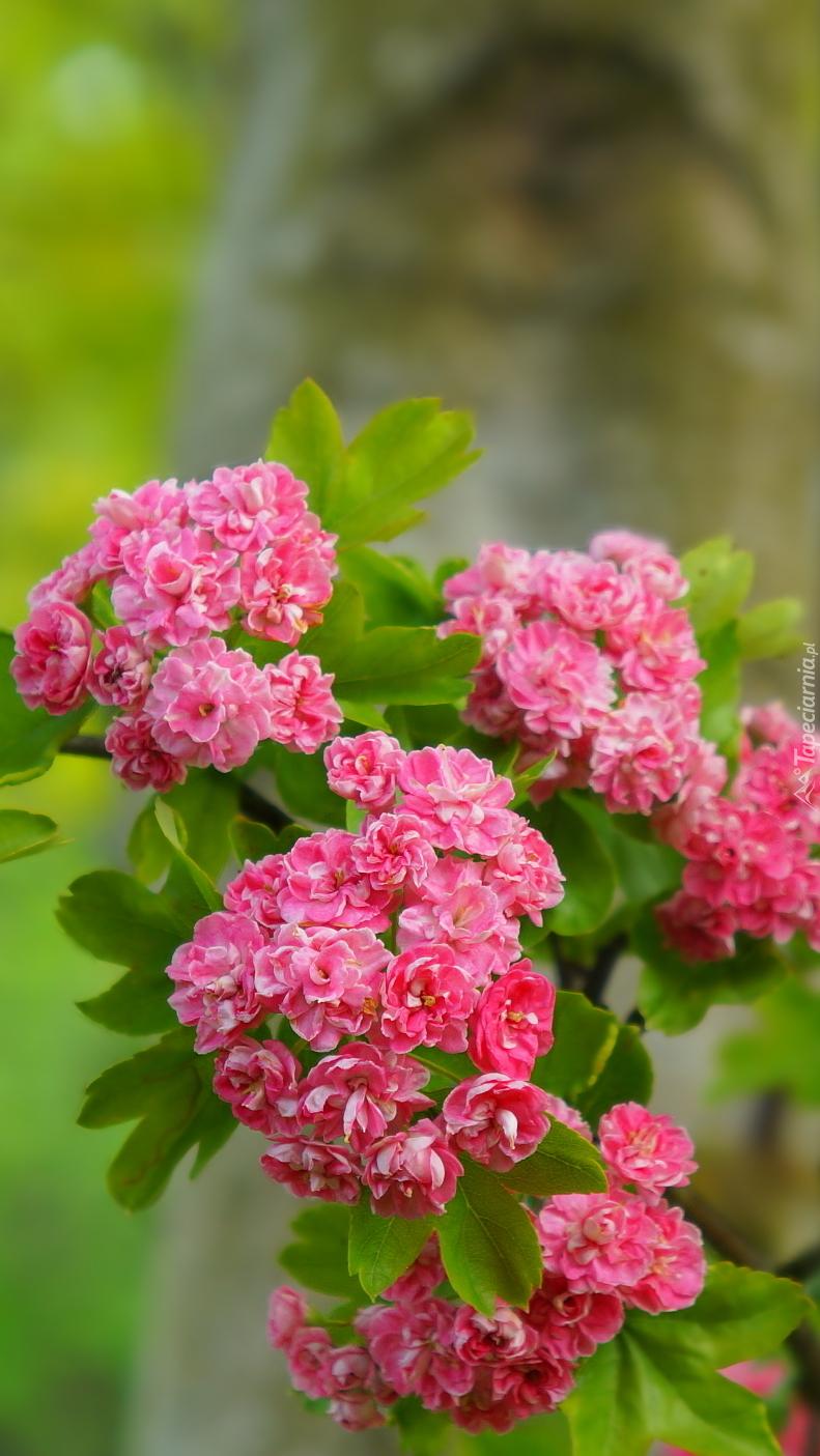 Kwiaty głogu na gałązkach