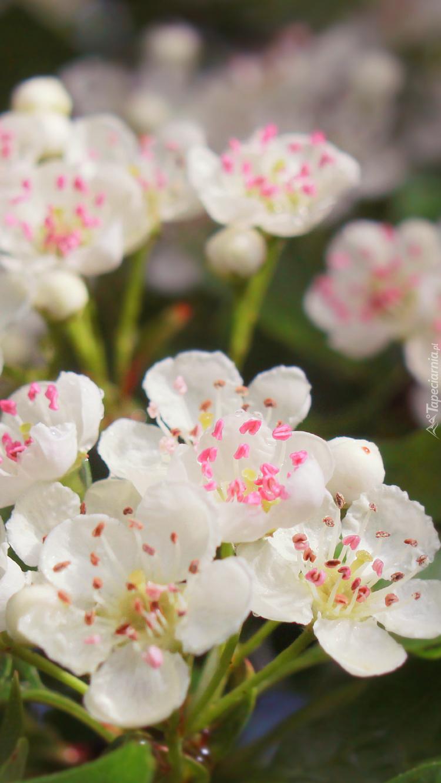 Kwiaty głogu w zbliżeniu