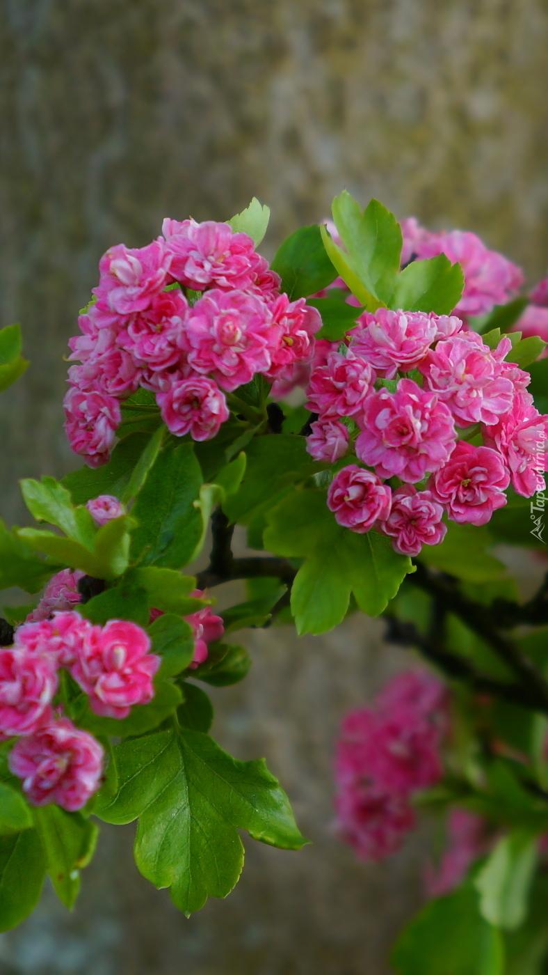Kwiaty głogu