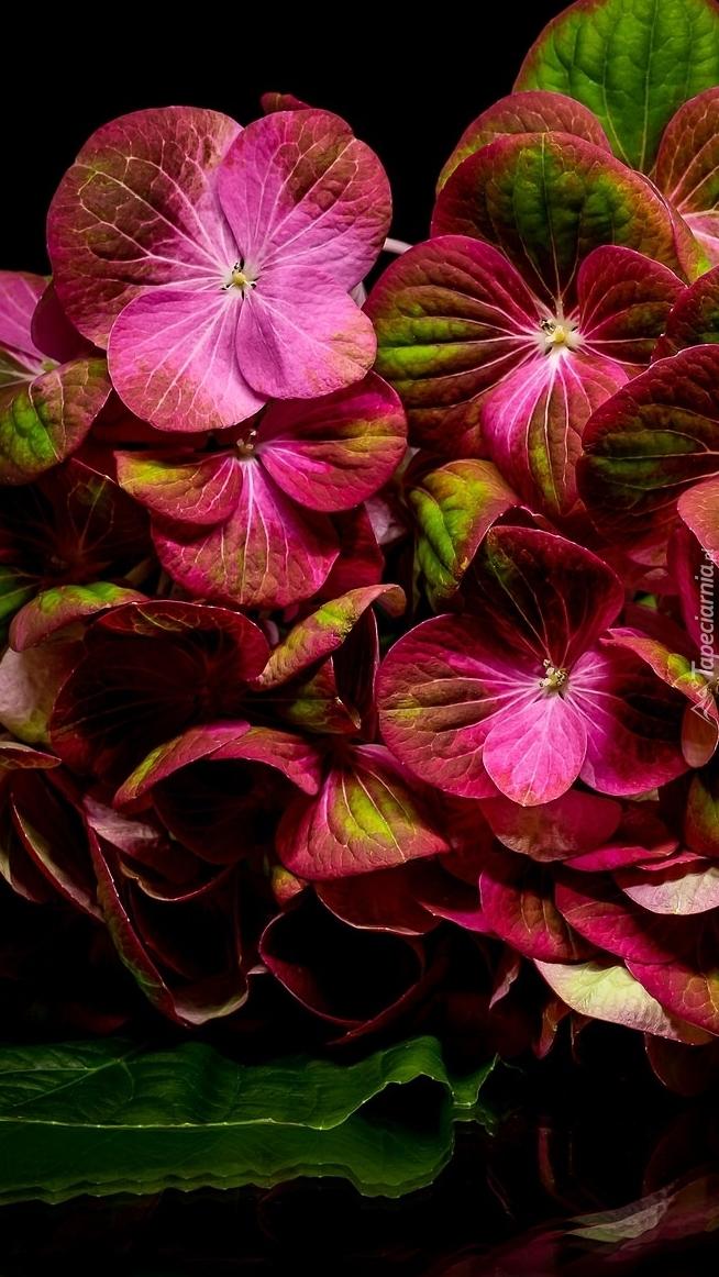 Kwiaty hortensji