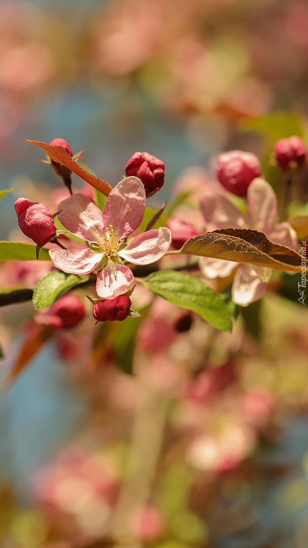 Kwiaty i pąki drzewa owocowego