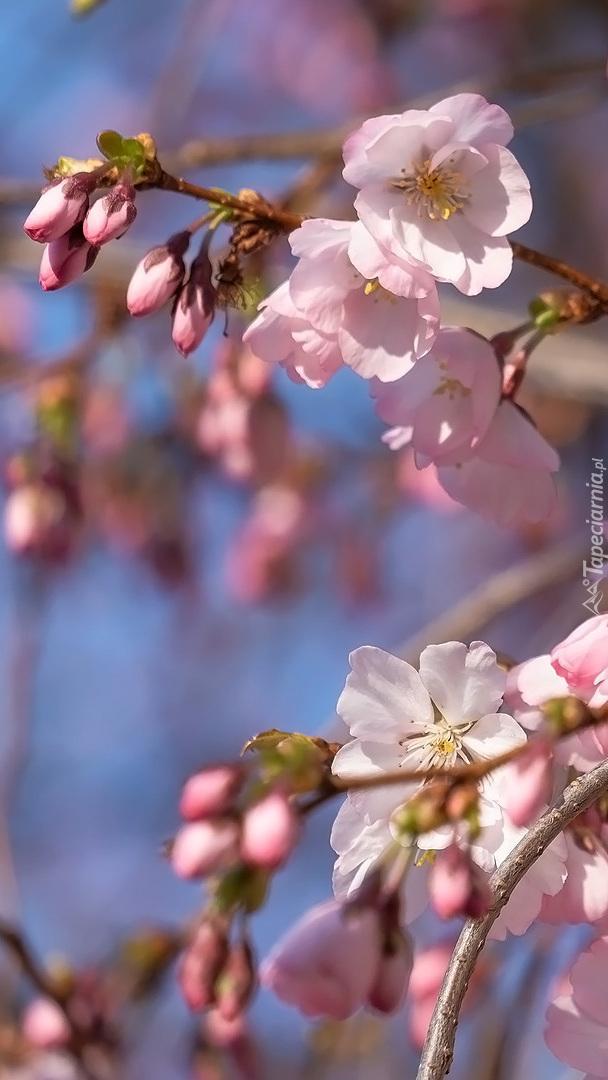 Kwiaty i pąki wiśni japońskiej