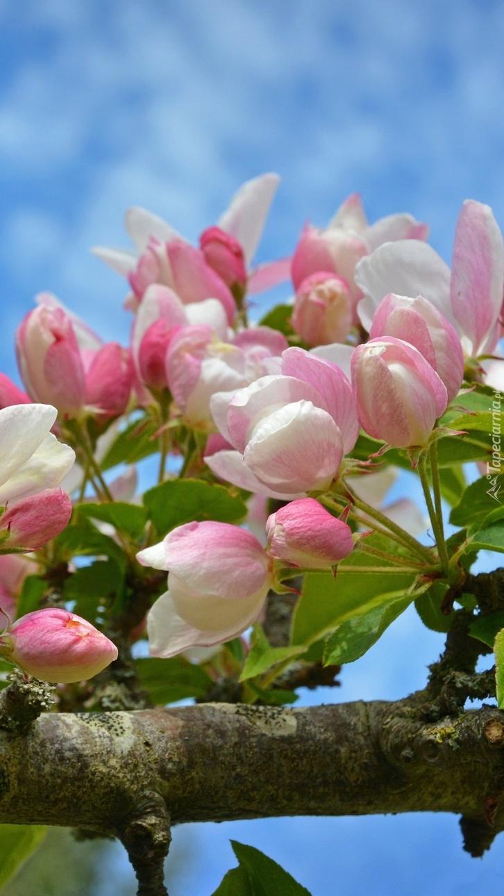 Kwiaty jabłoni z pąkami na gałęzi