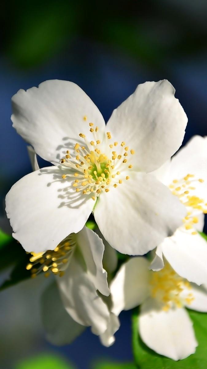 Kwiaty jaśminu na gałązce