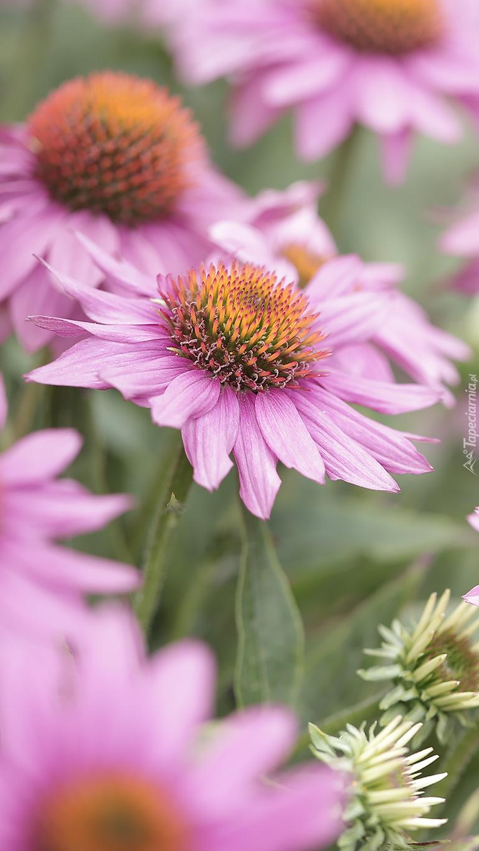 Kwiaty jeżówki