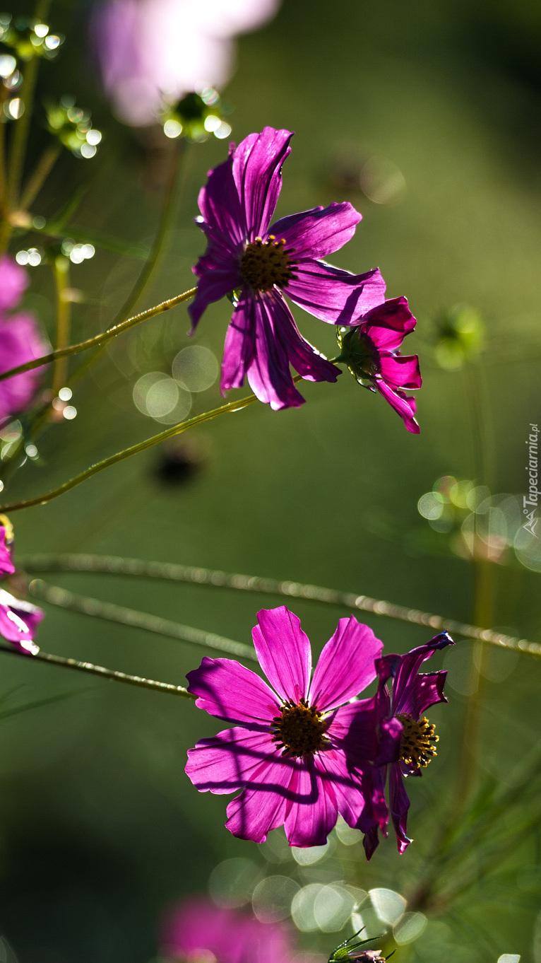 Kwiaty kosmei
