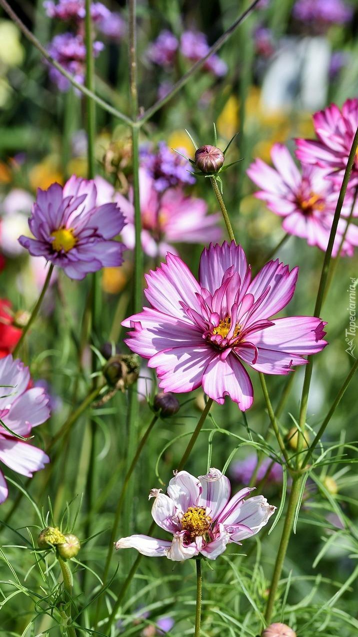 Kwiaty kosmei na łące