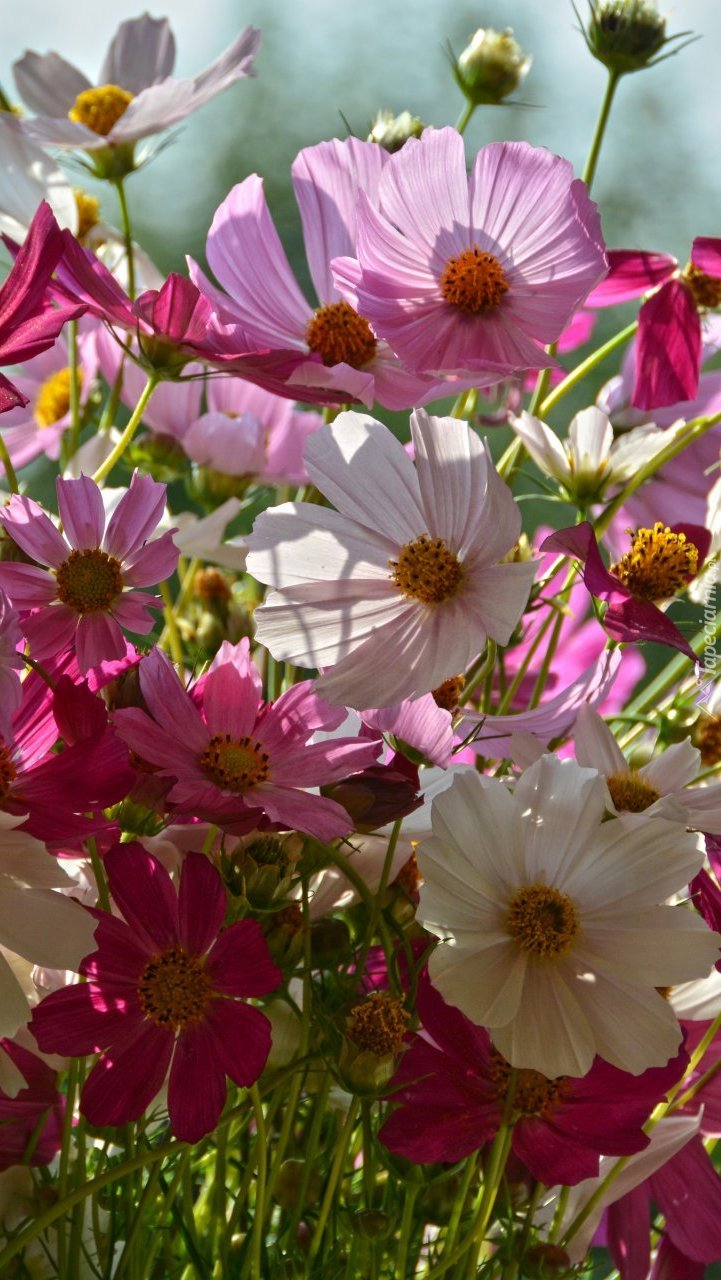Kwiaty kosmei w różnych kolorach