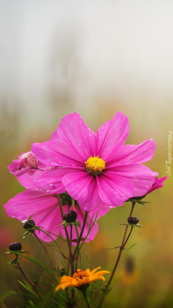 Kwiaty kosmei z pąkami
