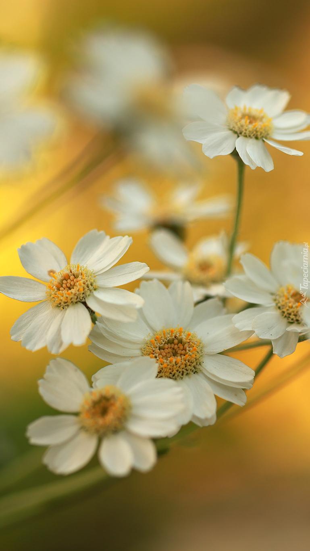 Kwiaty krwawnika