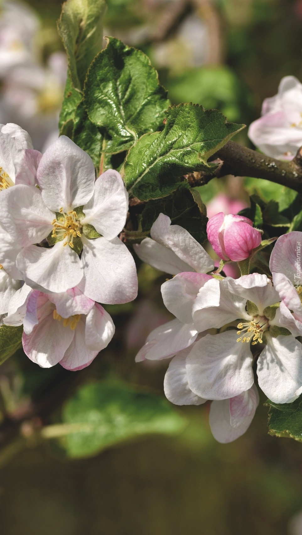 Kwiaty kwitnącej jabłoni
