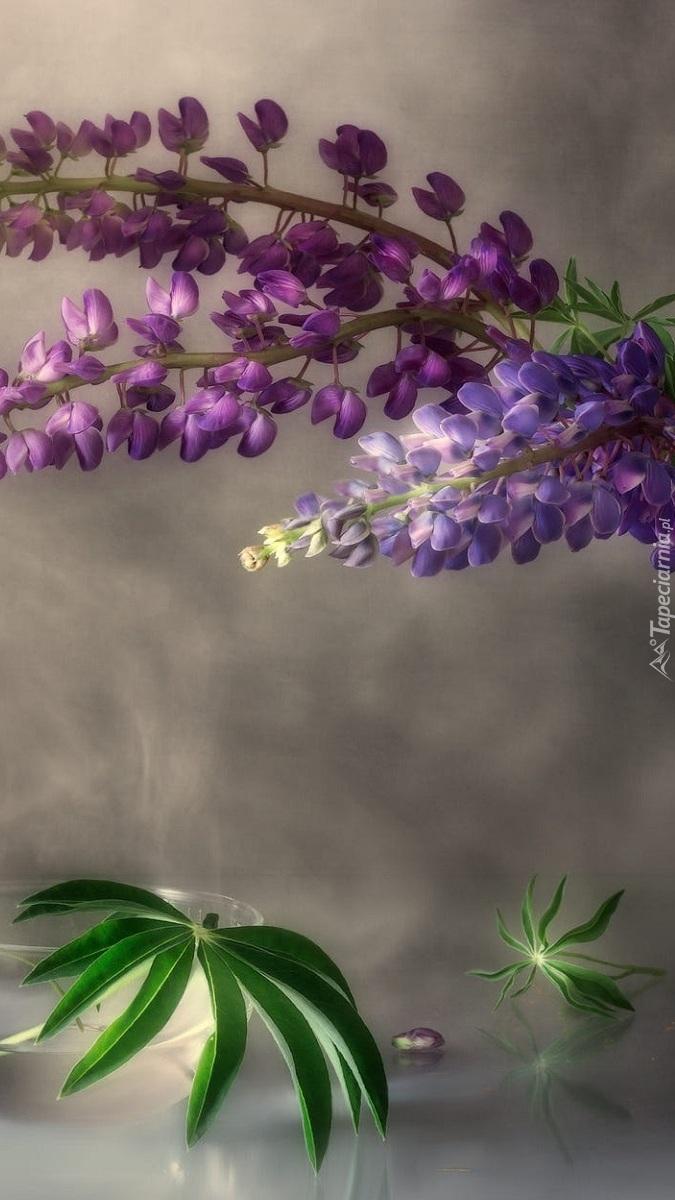Kwiaty łubinu