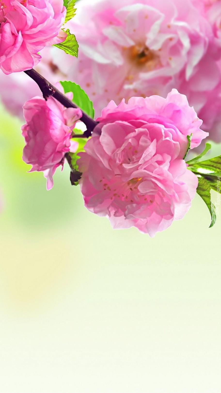 Kwiaty migdałka na gałązce