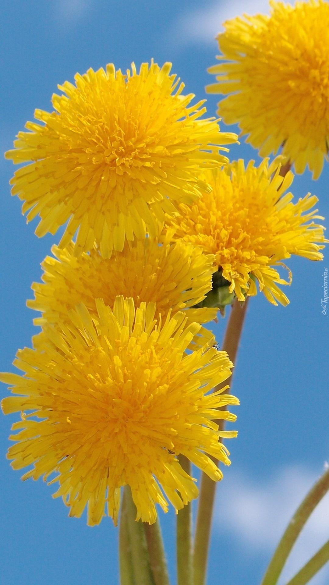 Kwiaty mniszka na tle nieba