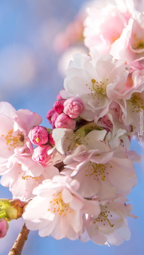 Kwiaty na drzewie owocowym