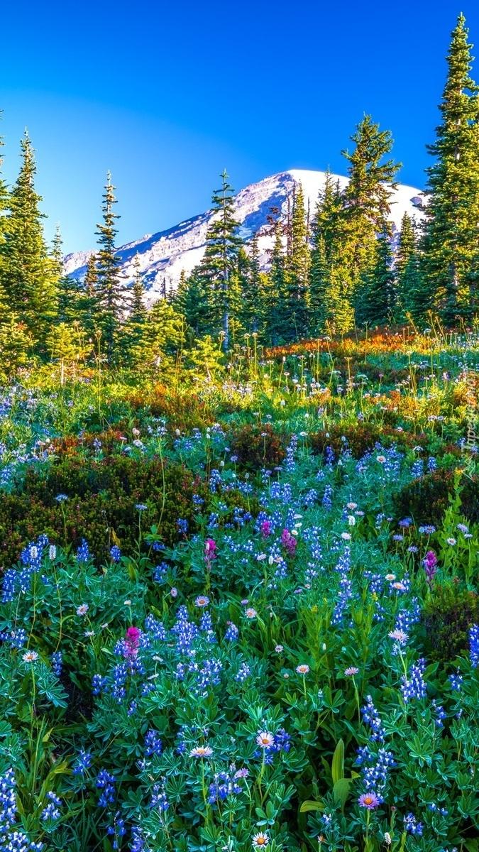 Kwiaty na łące i stratowulkan Mount Rainier