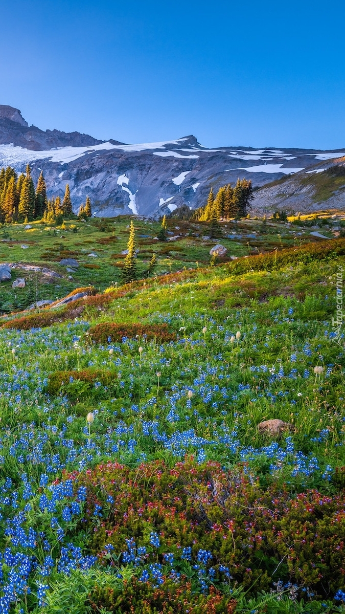 Kwiaty na łące w Parku Narodowym Mount Rainier
