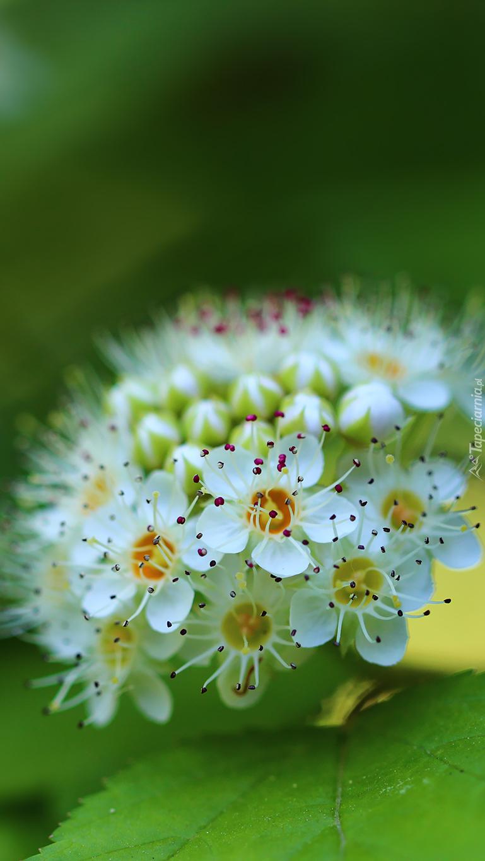 Kwiaty pęcherznicy