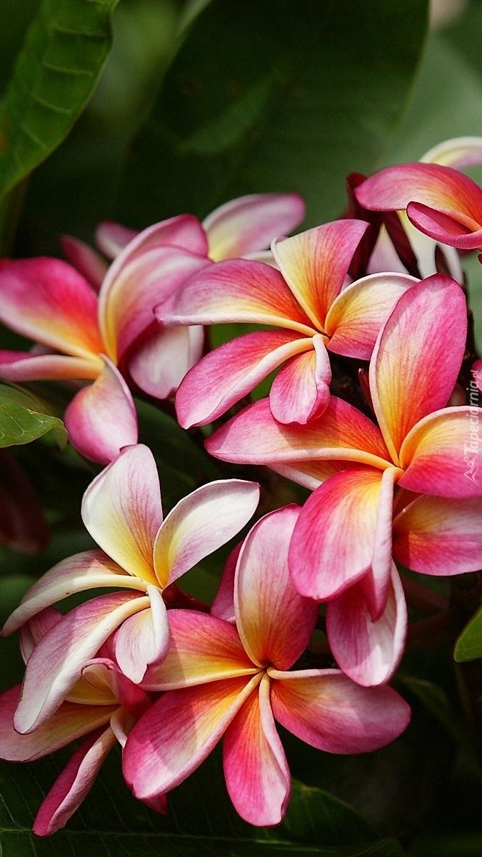 Kwiaty plumerii