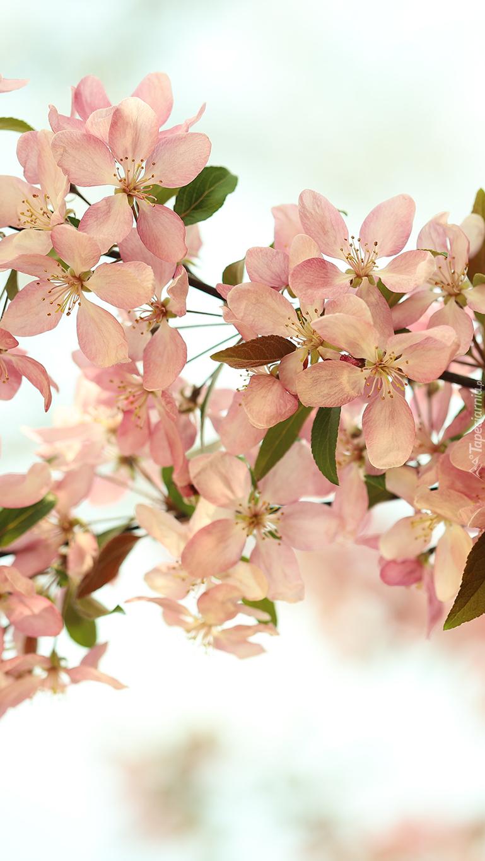 Kwiaty rajskiej jabłoni