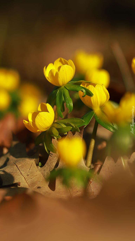 Kwiaty rannika w zbliżeniu