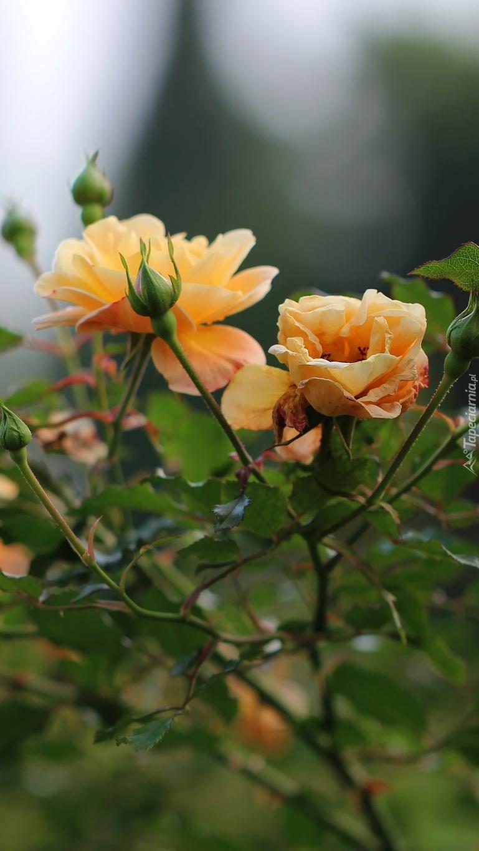 Kwiaty róż na krzaku