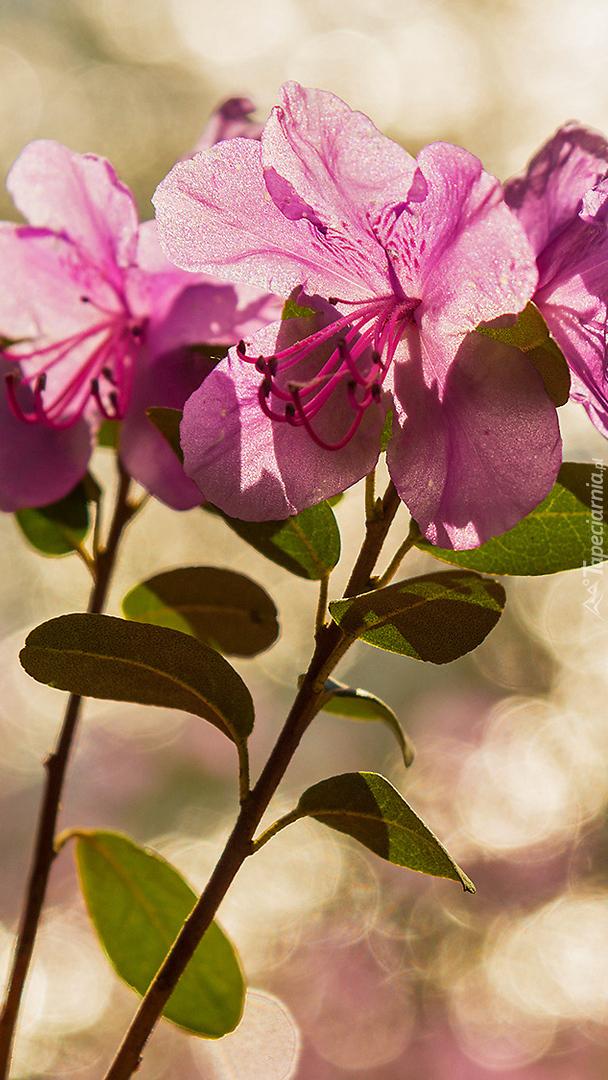 Kwiaty różanecznika