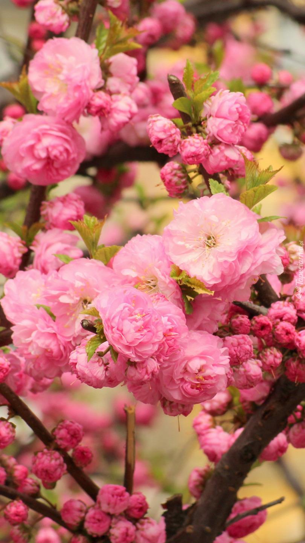 Kwiaty różowego migdałka