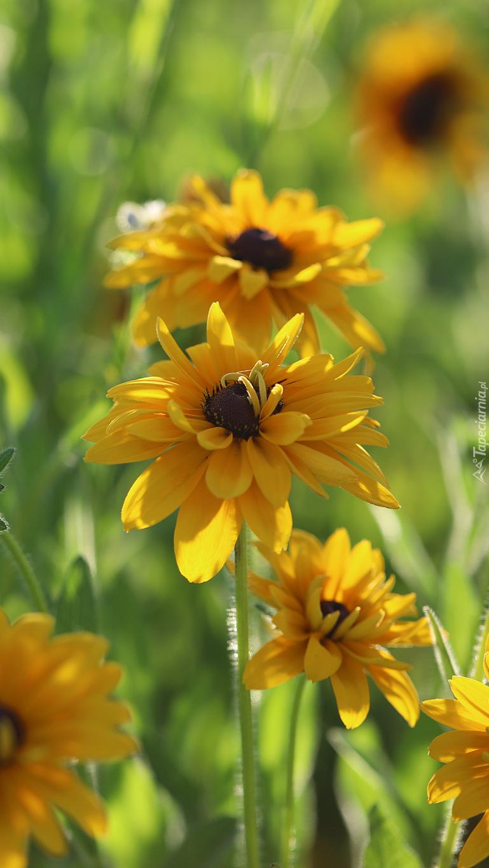 Kwiaty rudbekii