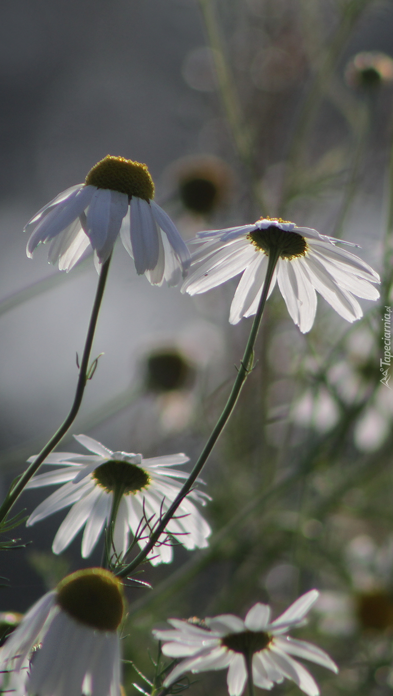 Kwiaty rumianków
